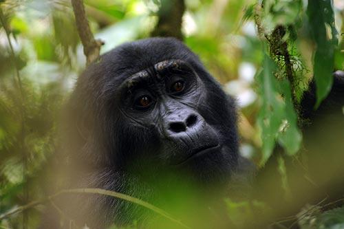 Gorilas de Bwindi. Foto: Sebastián Álvaro