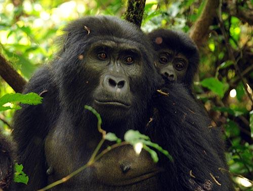 Gorilas en el Bosque Impenetrable de Bwindi. Foto: Sebastián Álvaro