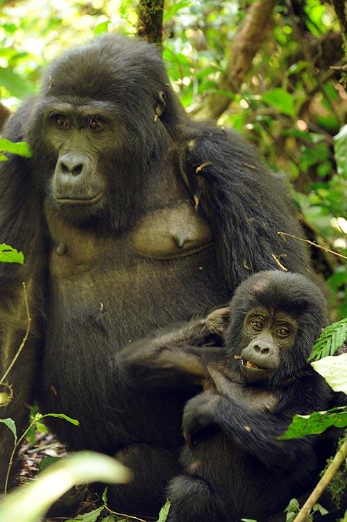 La reserva del Bosque Impenetrable de Bwindi dónde viven los gorilas fue convertida en Parque Nacional en 1992. Foto: Sebastián Álvaro