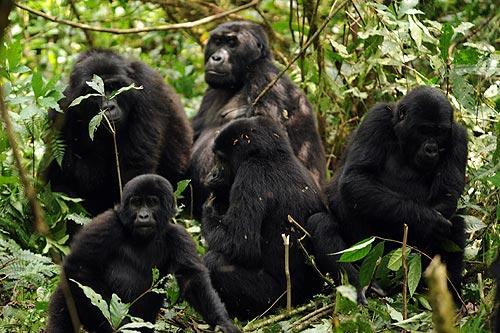 En la reserva del Bosque de Bwindi se refugian las últimas familias de gorilas de montaña. Foto: Sebastián Álvaro