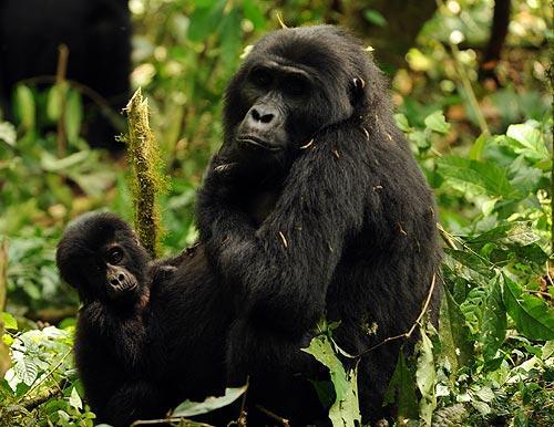 El Bosque de Bwindi, refugio de los gorilas de montaña. Foto: Sebastián Álvaro