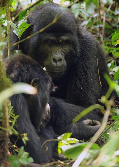 Sólo 10 personas al día pueden visitar a los gorilas en el Parque. Foto: Sebastián Álvaro