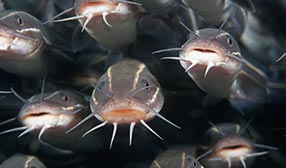 School of catfish (© moodboard/Alamy)